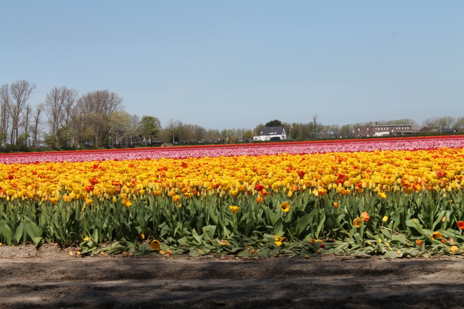Tulip fields in Keukenhof Gardens - Holland