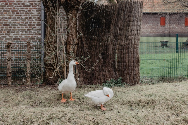 The ducks at the farm near Brugge, Belgium